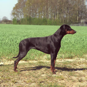 Natural Eared Doberman