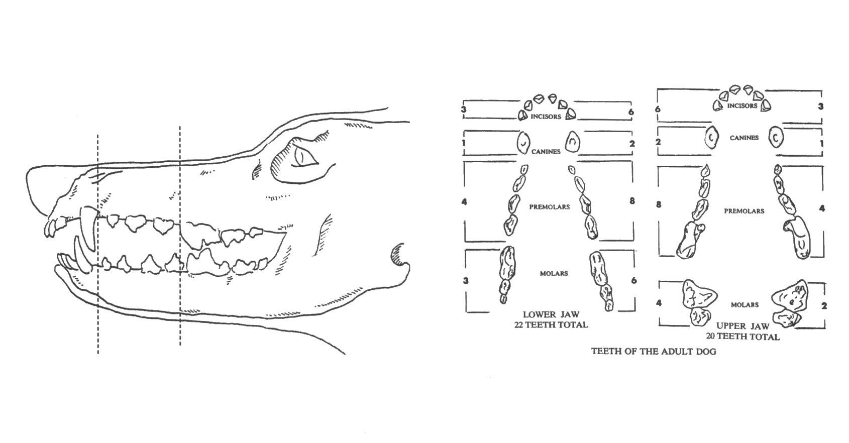 Doberman teeth