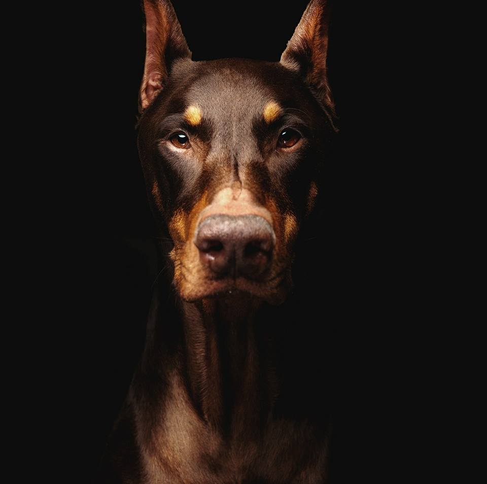 Red female Doberman with black background