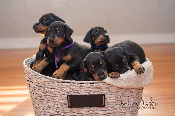 Black Doberman puppies in basket