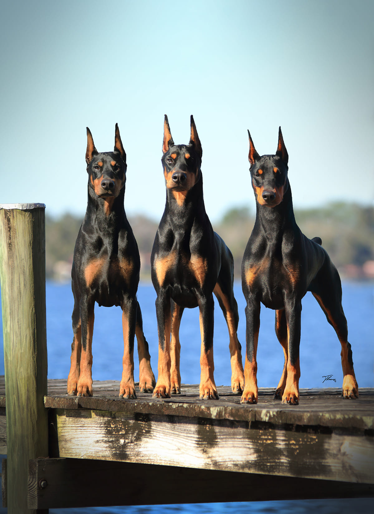 Black Dobermans on dock by water