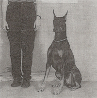 Obedience Doberman